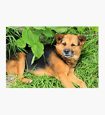Brown Dog Under a Bush Photographic Print