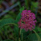Blooming Milkweed by Rick  Friedle