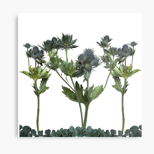 Blue Thistle Flowers (2) Transparent Metal Print