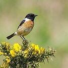 Stonechat on Gorse by Stephen Miller