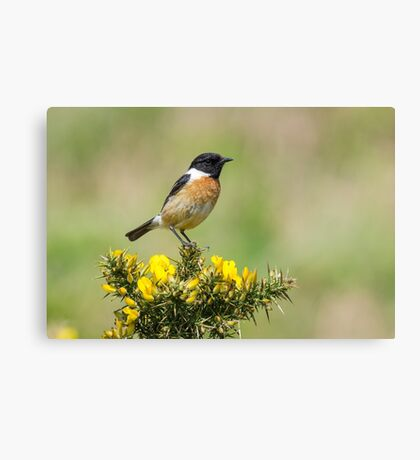 Stonechat on Gorse Canvas Print