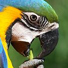 Blue and Yellow Macaw by Jo Nijenhuis