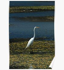 Great Heron Standing at the Edge of a Lake Poster