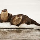 Otters, Lontra canadensis by Marty Samis
