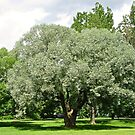 Beautiful Willow Tree by Shulie1