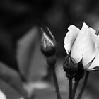 Black and White Rose by Andrea Turner