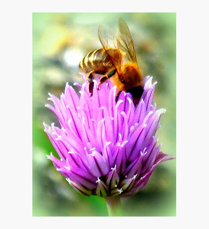 Bee on chive flower Photographic Print