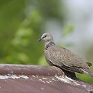 Resting dove. by UncaDeej