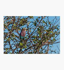 Lilac-breasted roller perched in leafy bush Photographic Print