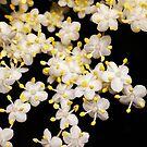 Blackhaw (Viburnum prunifolium) by Ludwig Wagner