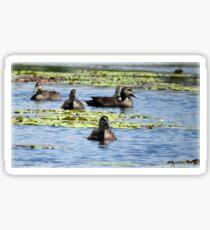 Pacific Black Ducks Sticker