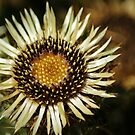 Carline Thistle Flower by shane22