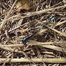 Blue Damselfly on Dried Grass  by shane22
