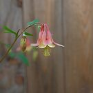 Columbine flower by botanicalsbyV