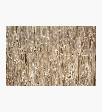 Cattails In The Wind Photographic Print