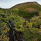 Mt. Field Fagus by Robert Mullner