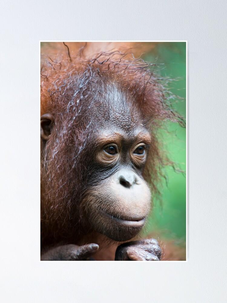 Alternate view of Orangutan in Borneo Poster