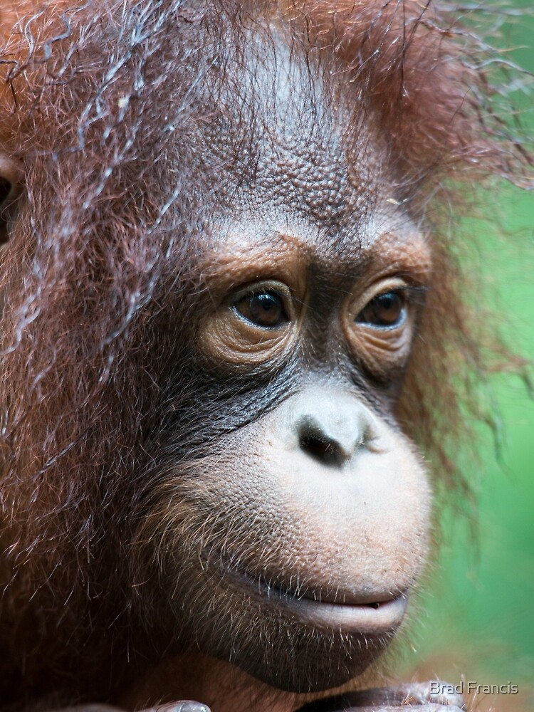 Orangutan in Borneo by bfra