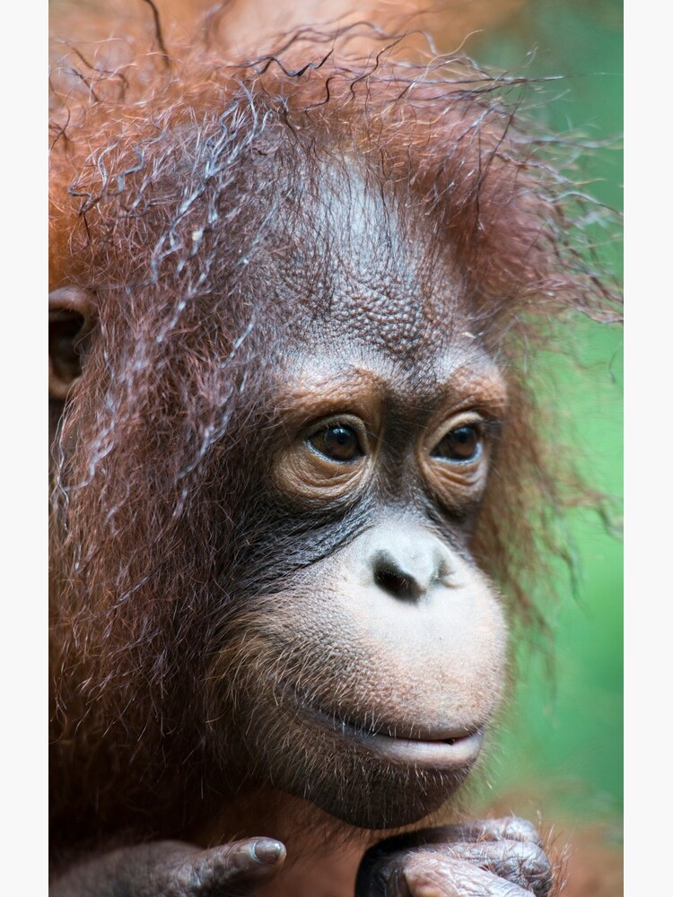 Orangutan in Borneo by bfra