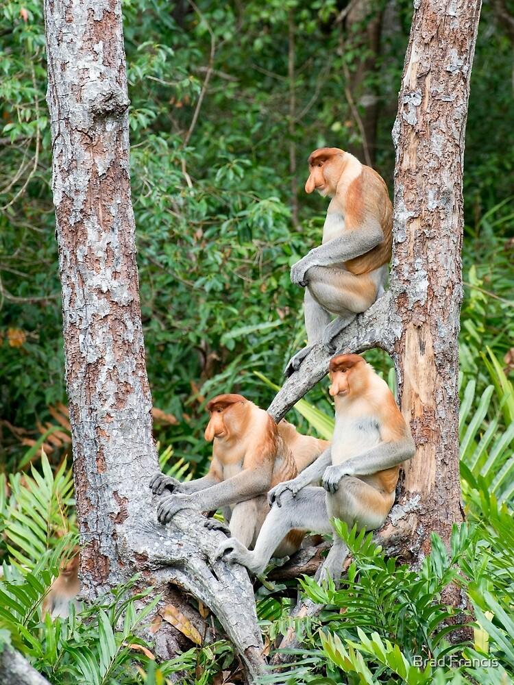 Proboscis Monkey group by bfra