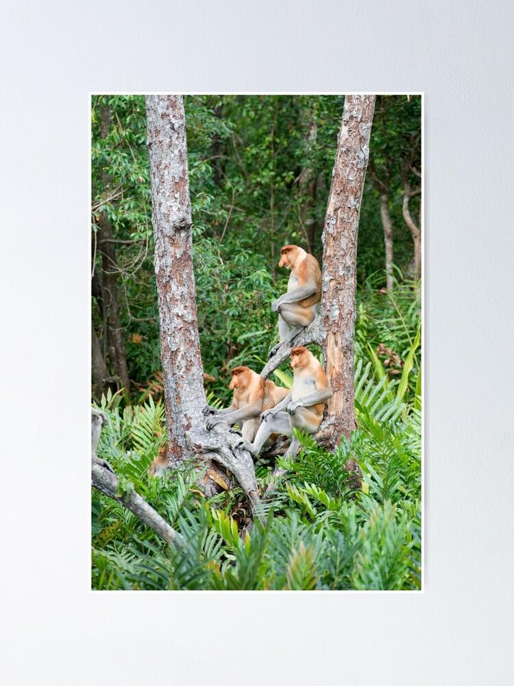 Alternate view of Proboscis Monkey group Poster