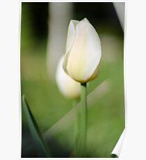 fragile tulip Poster