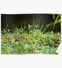 Young frog chilling in grass Poster