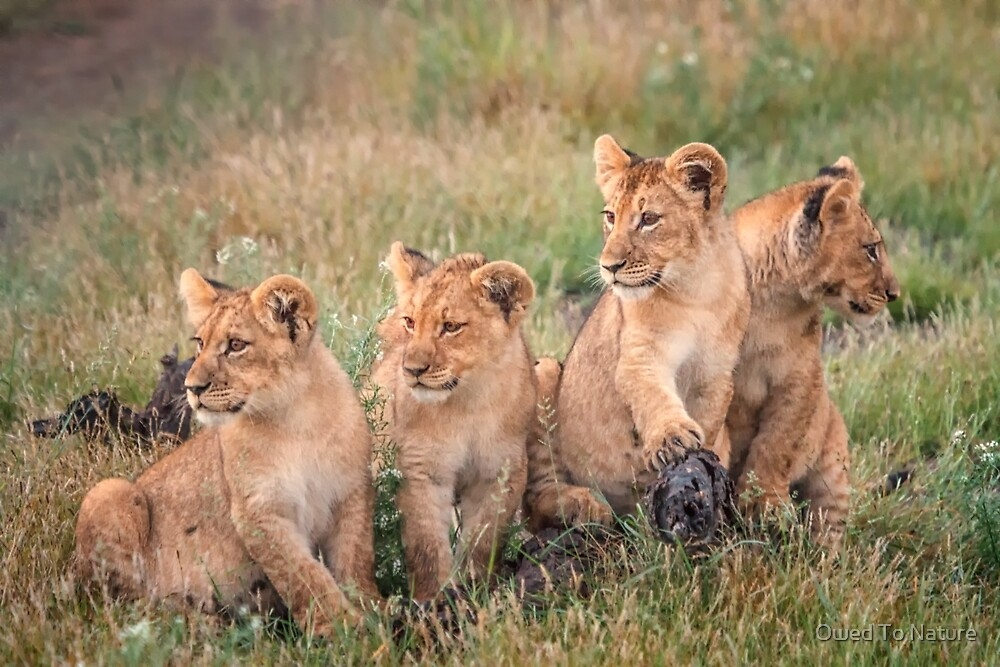 Four cubs by Owed To Nature