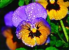Pansy in HDR by Tori Snow