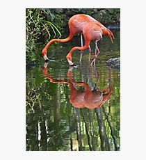 Flamingoes, As Is Photographic Print