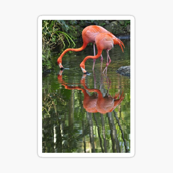 Flamingoes, As Is Sticker