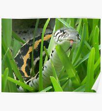 Black-Necked Garter Snake Sniffs the Air Poster