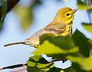 prairie warbler by Dennis Cheeseman