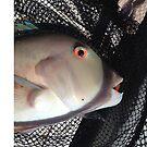 Amazing colored fish eyes by Sari  Puhakka