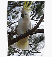 Hello Cocky! Poster