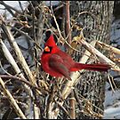 Cardinal in March by Cat  Lee
