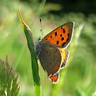 The Small Copper Butterfly by ienemien