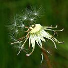 Dandelion seed head by rosie320d