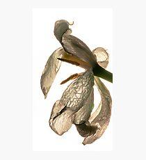 contre-jour of a dead white tulip Photographic Print