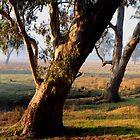 Redgum Dawn by Donovan Wilson