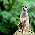 Meerkat No.1  by Erin Davis