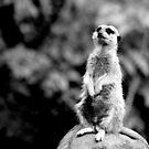 Meerkat No.2 by Erin Davis