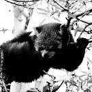 Red Panda No.2 by Erin Davis