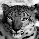 Snow Leopard No.10 by Erin Davis