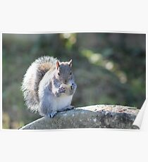 Squirrel On The Stone Poster