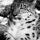 Snow Leopard No.12 by Erin Davis
