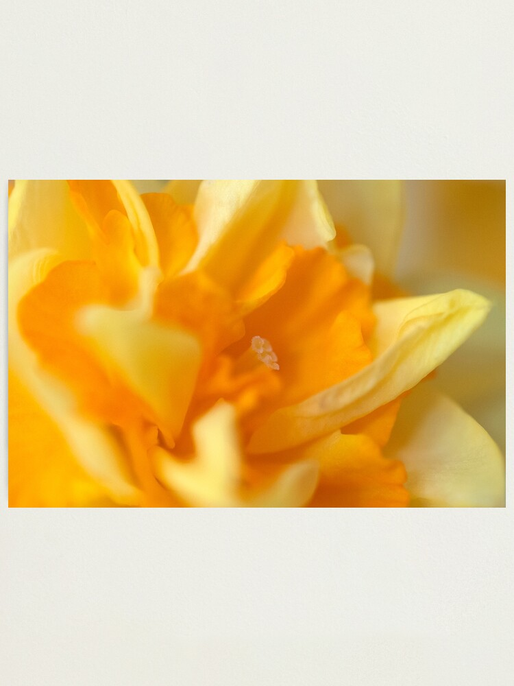 Alternate view of Double Daffodil Photographic Print