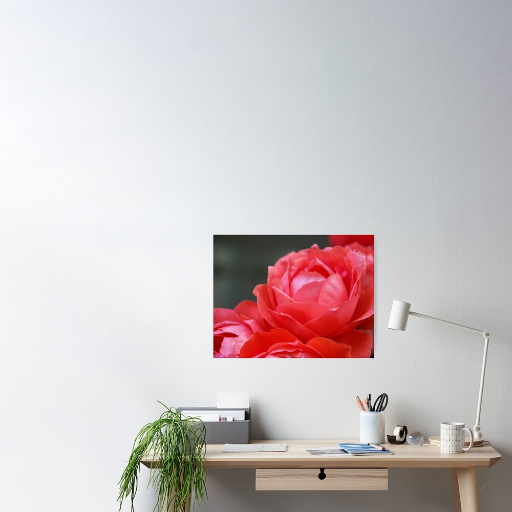 Coral Red Roses Poster