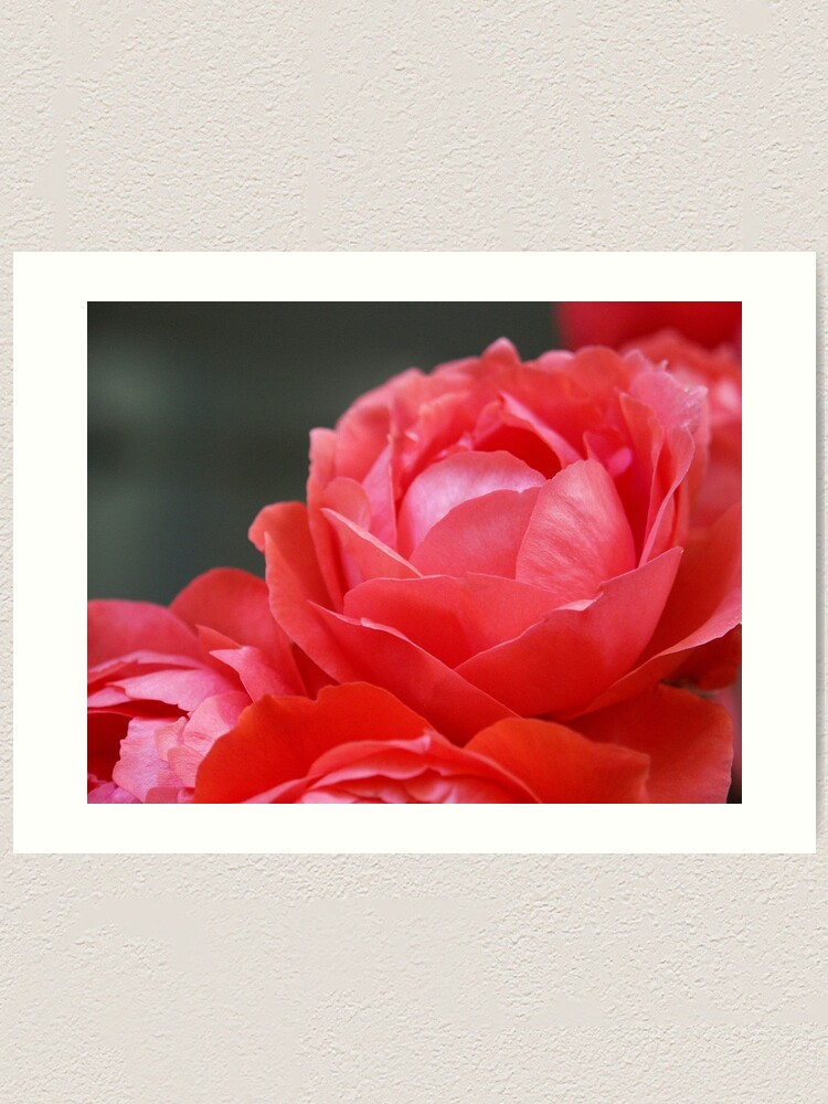 Alternate view of Coral Red Roses Art Print