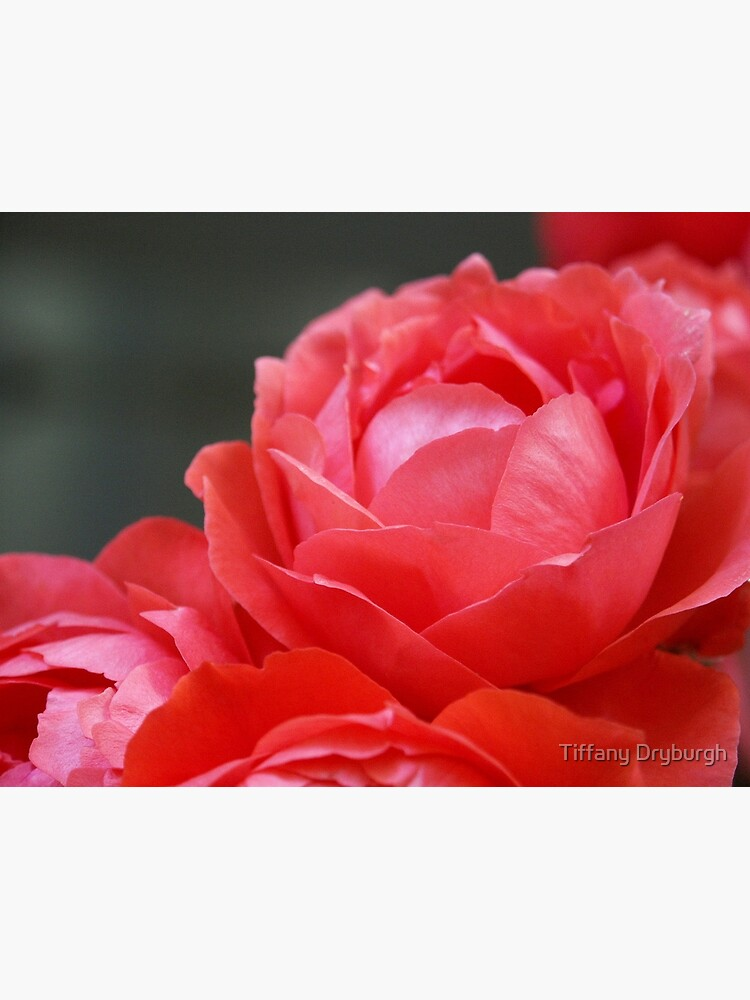 Coral Red Roses by Tiffany